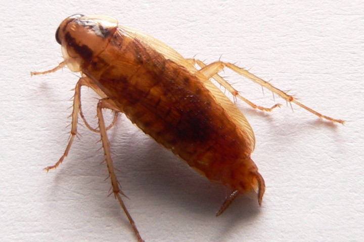 Tysk kakerlakk, Blatella germanica. Illustrasjonsfoto: David Monniaux