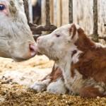 Nyfødt kalv koser med mammaen på Arctic Ranch. Foto: Robin Lund .no