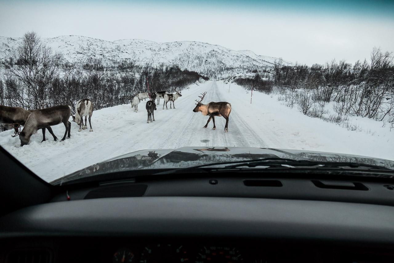 Reinsdyr i veibanen